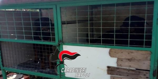 S.Anastasia: Rottweiler in gabbie per uccelli, denunciato dai carabinieri
