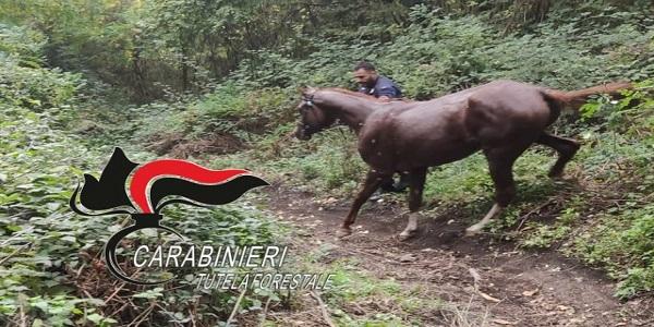 Ottaviano: cavallo imbizzarrito precipita in un dirupo. Salvato dai CC